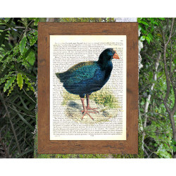 Takahe Bird of New Zealand